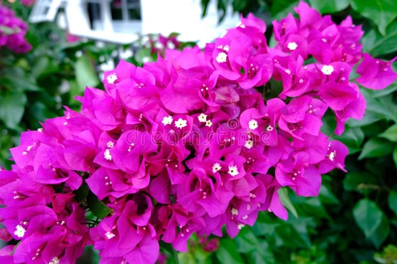 Bougainvillea flowers with green background stock images