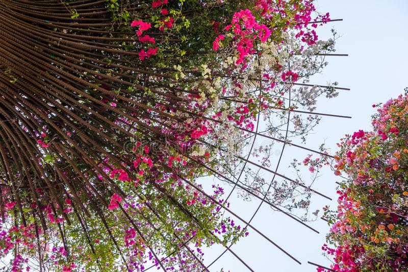 Bougainvillea flowers growing on metal rods in a garden, California stock photography