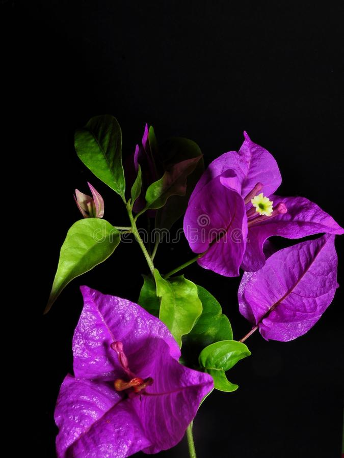 Bougainvillea flowers isolated on black background stock photo