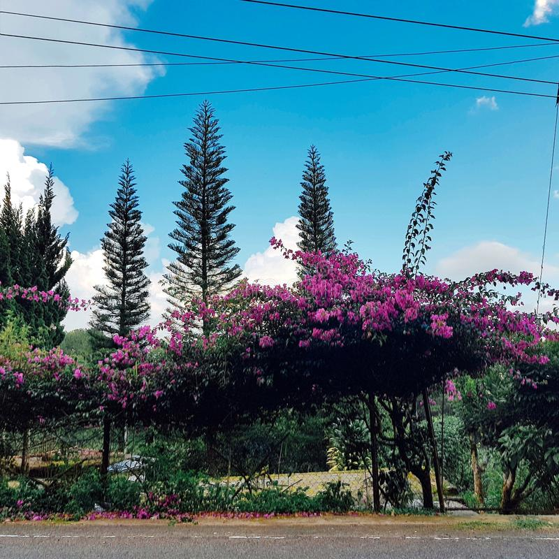 Bougainvillea flowers stock image