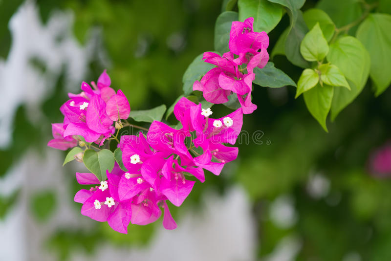 Bougainvillea flowers pink and green branch in garden stock photography
