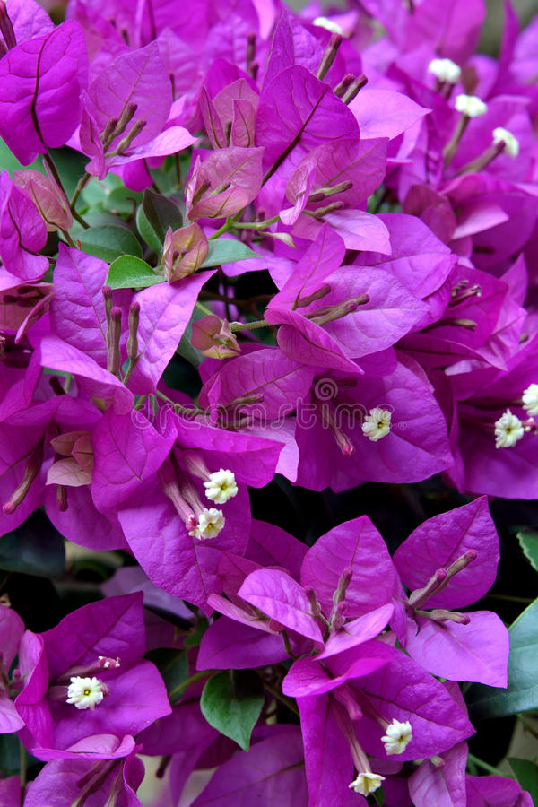 Bougainvillea Flowers In Purple Royalty Free Stock Image