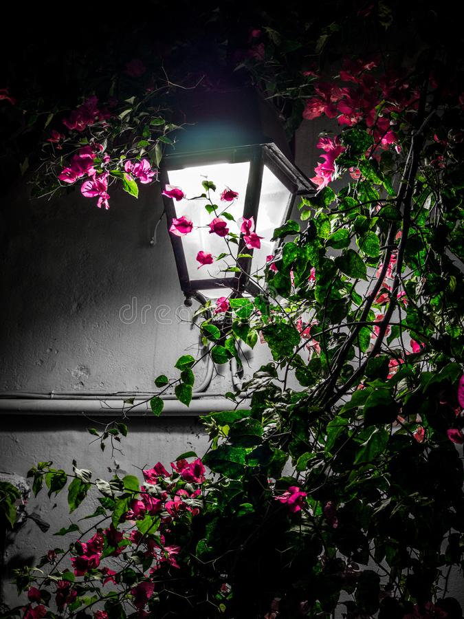 Bougainvillea flowers and street lantern - night scene stock photo