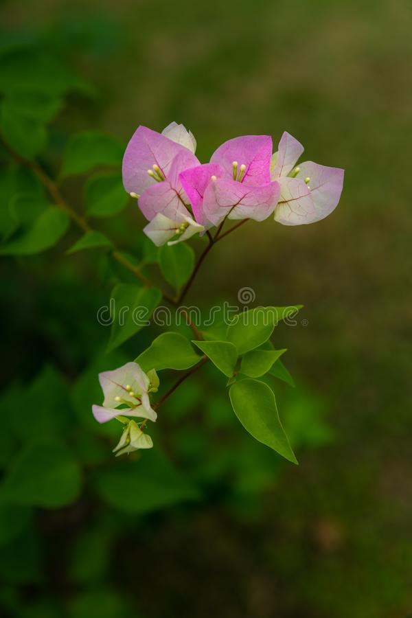 Bougainvillea is a genus of thorny ornamental vines. And trees with flower-like spring leaves near its flowers stock images