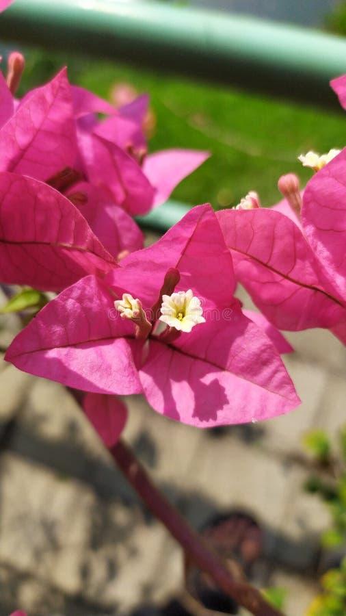 Bougainvillea glabra stock photography