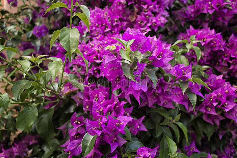 Bougainvillea glabra royalty free stock images