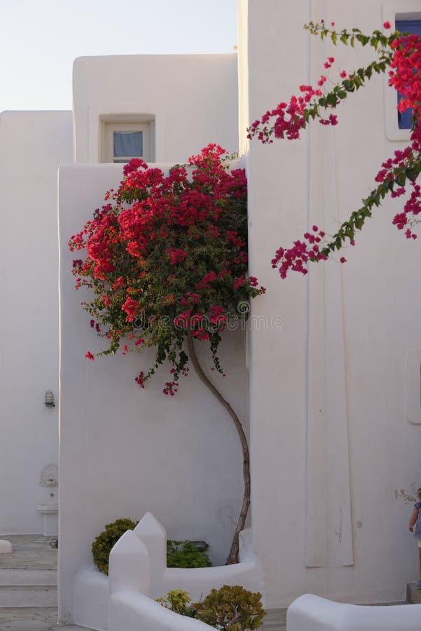Bougainvillea in Griekenland stock afbeelding