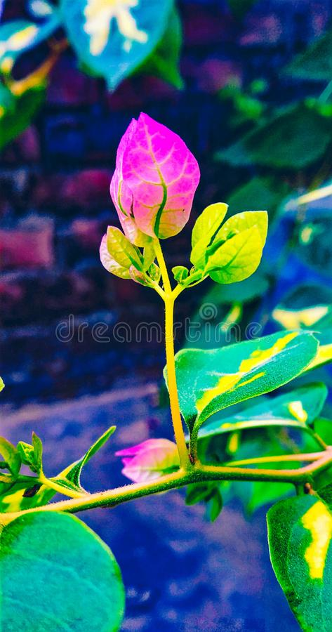 Bougainvillea growing . royalty free stock photography