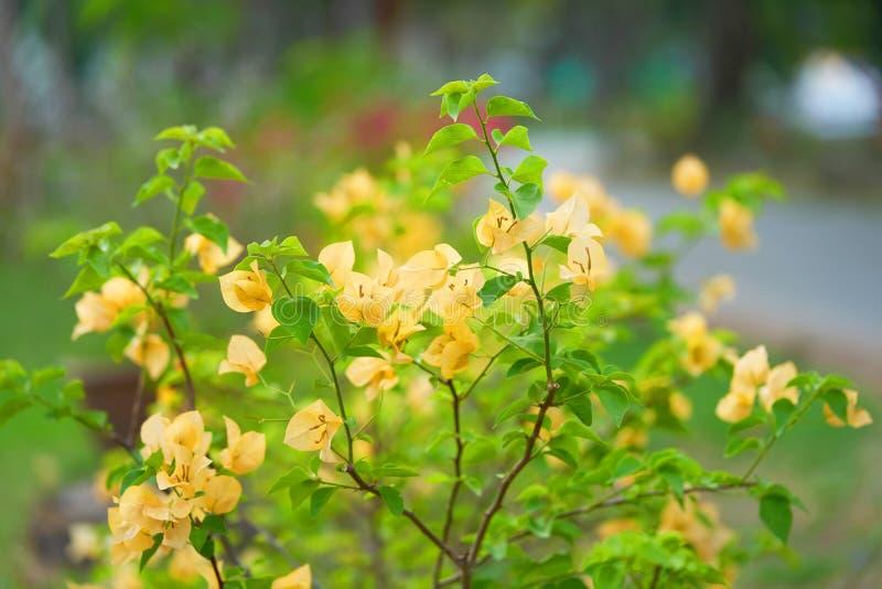 Bougainvillea gulingblomma på suddighetsbakgrund royaltyfria foton