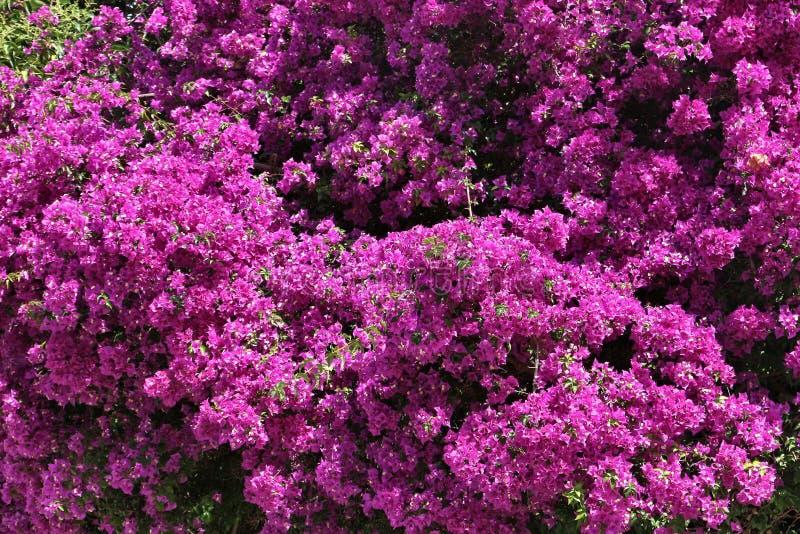 Bougainvillea het bloeien stock foto's