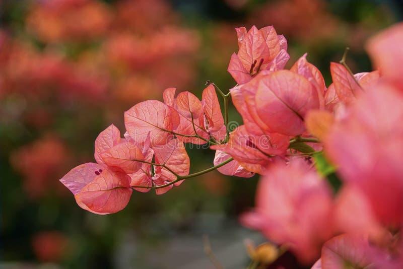 Bougainvillea kwiaty fotografia stock