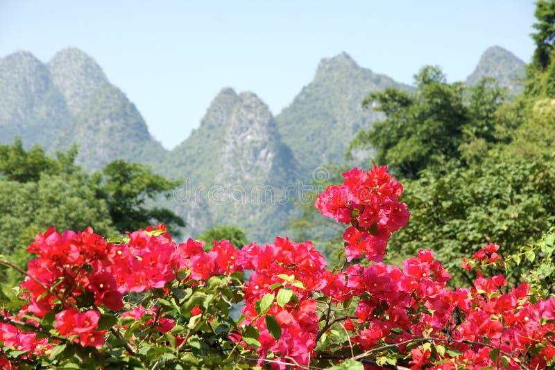 Bougainvillea kwiaty zdjęcia stock