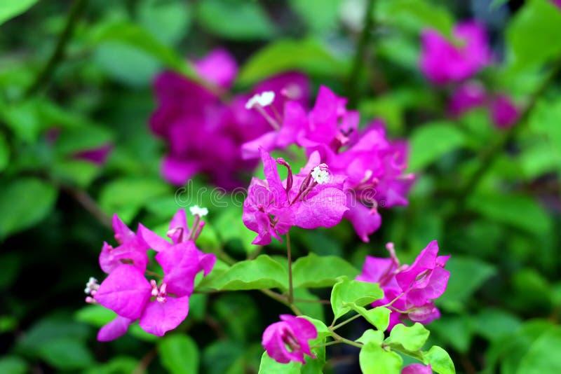 Bougainvillea kwiaty z zielonego liścia tła Selekcyjną ostrością i drzewo zdjęcie royalty free