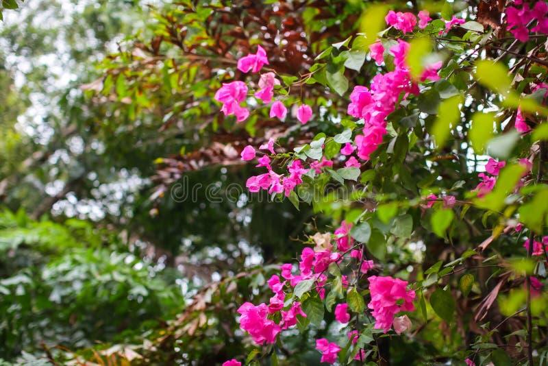 Bougainvillea kwitnie tło Czerwoni kwiaty bougainvillea drzewo Kolorowa purpura kwitnie w parku zdjęcia stock