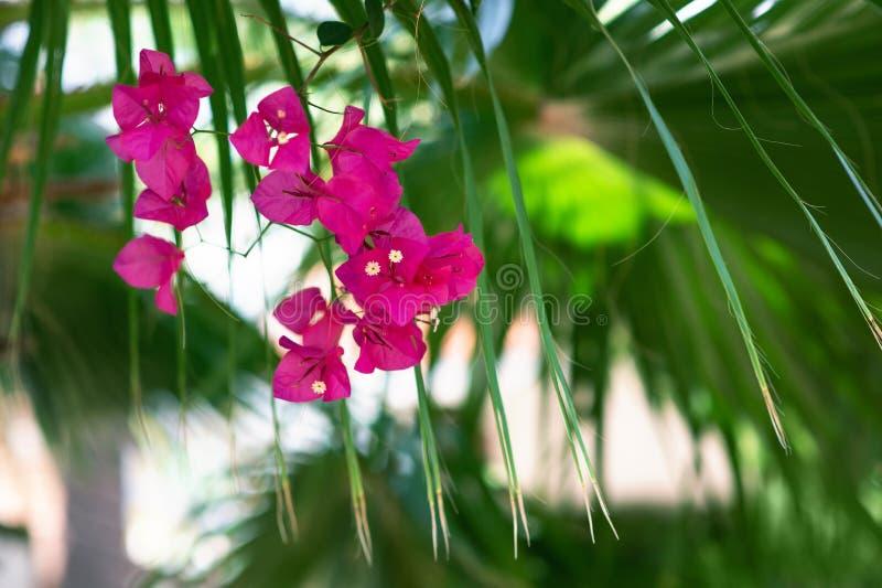 Bougainvillea kwitnie teksturę i tło zdjęcie stock