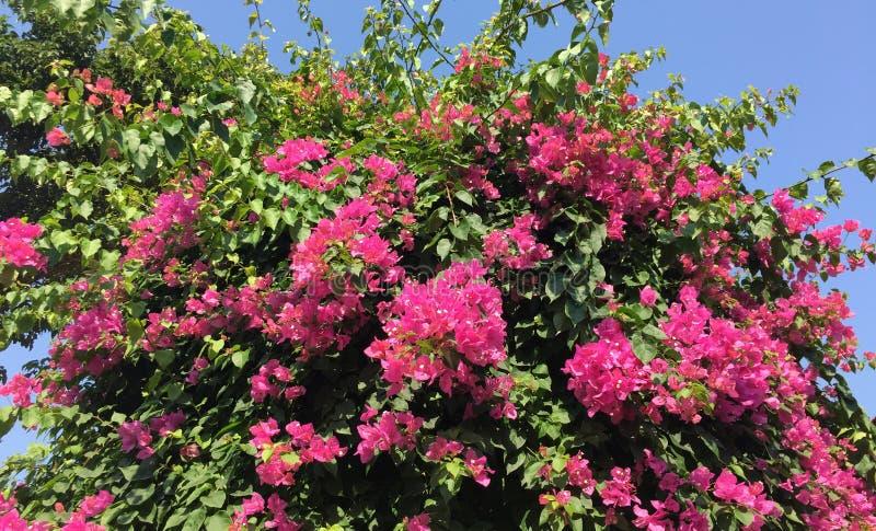 Bougainvillea kwitnie w Phu jenie, Wietnam fotografia stock