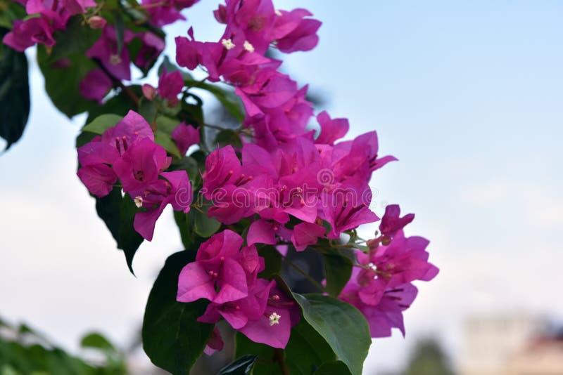 Bougainvillea lub papierowy kwiat zdjęcie royalty free