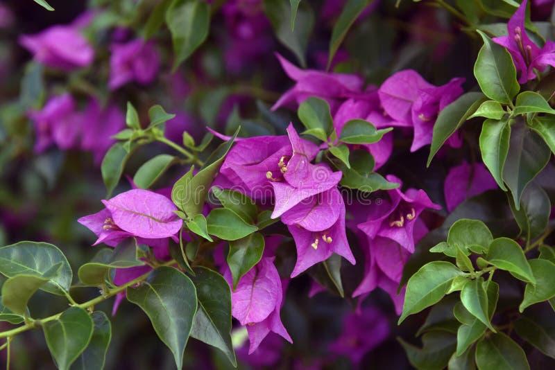 Bougainvillea lub papierowy kwiat obrazy stock