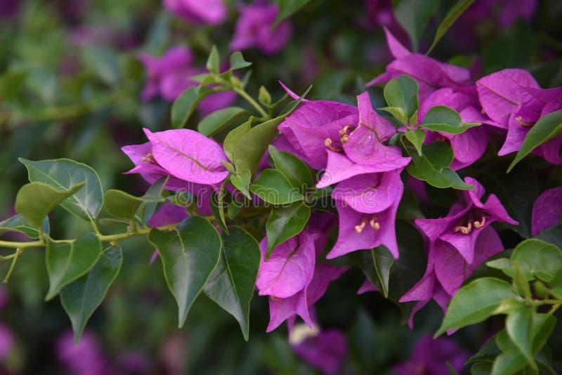 Bougainvillea lub papierowy kwiat obrazy royalty free