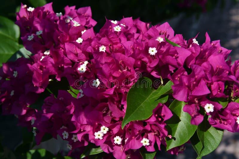 Bougainvillea lub papierowy kwiat obraz stock