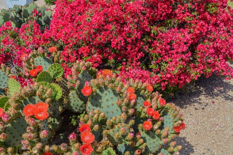 Bougainvillea ma ozdobne winorośle na kolorze ciernym i kwitnie Prickly Pear Cactus Opuntia Cactaceae w Glendale, hrabstwie Maric fotografia royalty free