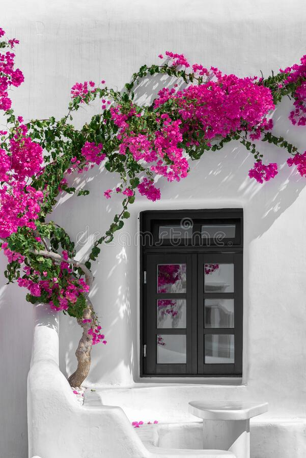 Bougainvillea in Mykonos royalty free stock images