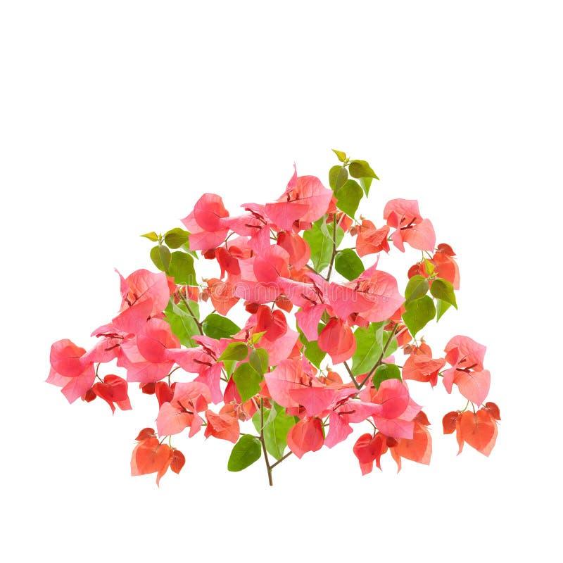 Bougainvillea op witte achtergrond, Provinciale bloem van phuket t royalty-vrije stock fotografie
