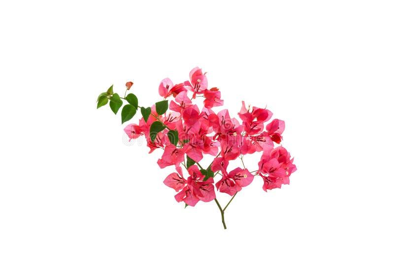 Bougainvillea op witte achtergrond, Provinciale bloem van phuket t royalty-vrije stock foto's