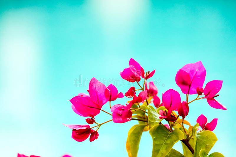 Bougainvillea, Paper Flower blooming after of rain several days colorful garden stock photos