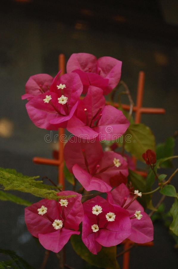 Bougainvillea paper flower blossoms bunch in pot. A bunch of bougainvillea blooms. Fuchsia paper flower. Flower in a pot royalty free stock photo