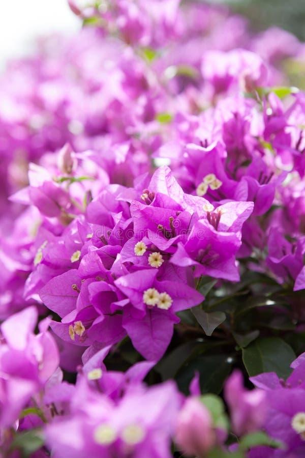 Bougainvillea or paper flower is a kind of tropical plant stock download bougainvillea or paper flower is a kind of tropical plant stock photo image of mightylinksfo