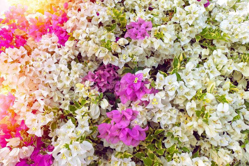 Bougainvillea or paper flowers in the garden stock photo image of download bougainvillea or paper flowers in the garden stock photo image of bougainvillea mightylinksfo
