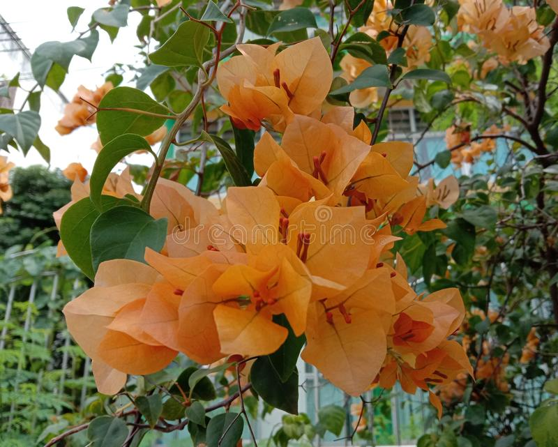Bougainvillea is a perennial plant of the type of semi-bushes. Size from small bushes to large bushes There are thorns on the trunk. There are many colors royalty free stock photo