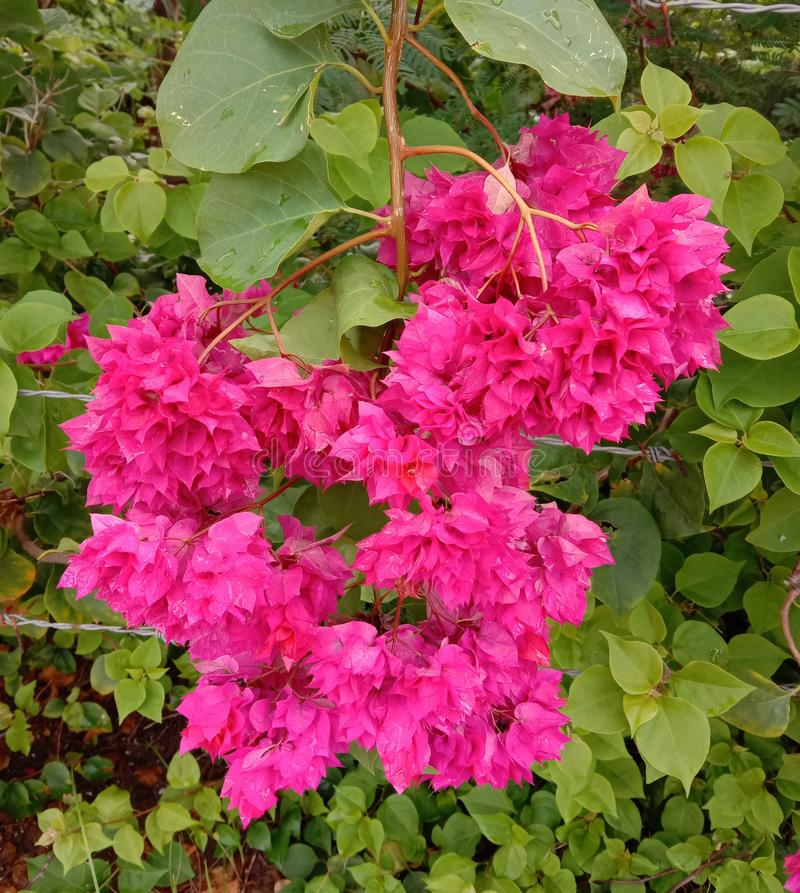 Bougainvillea is a perennial plant of the type of semi-bushes. Size from small bushes to large bushes There are thorns on the trunk. There are many colors stock image