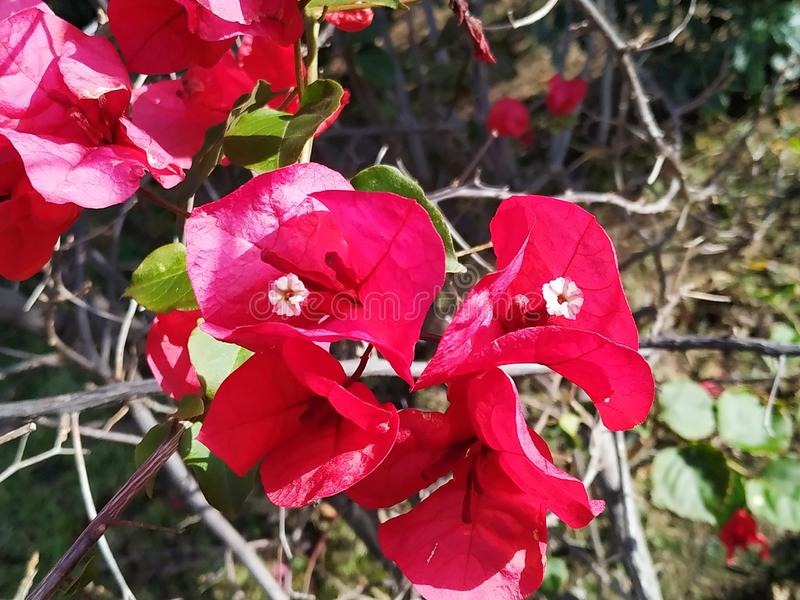 Bougainvillea of pink color, tropical flower with green leaves. In Ayamontes, Spain, Andalucia. Photo taken in 2019 royalty free stock photography