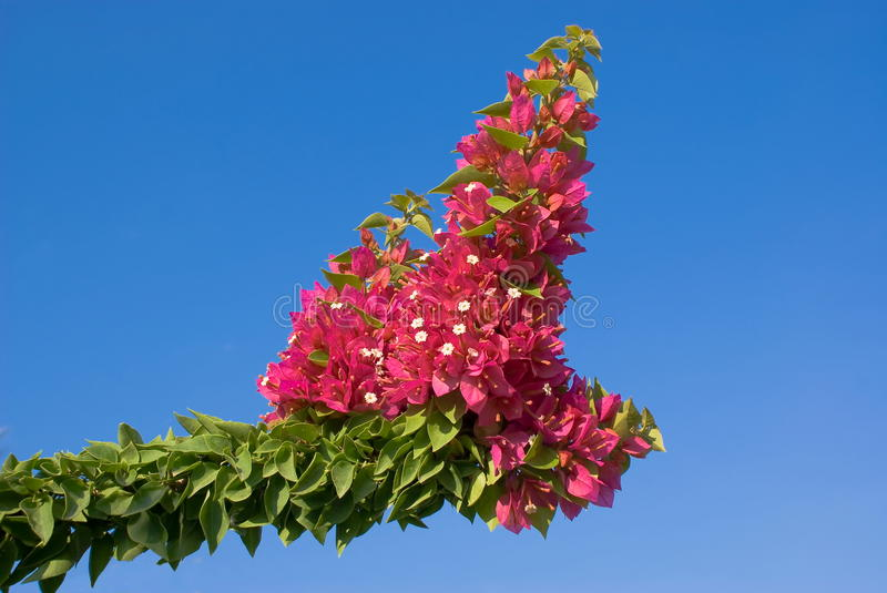 Bougainvillea plant royalty free stock photo