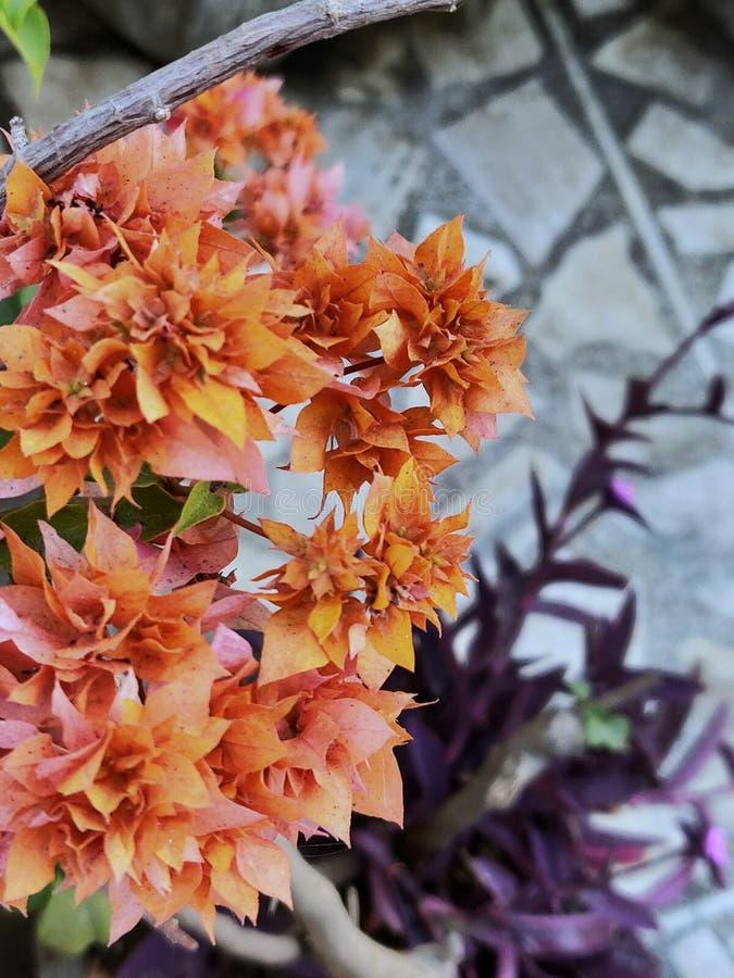 Bougainvillea pomarańcze królewiątko zdjęcie royalty free