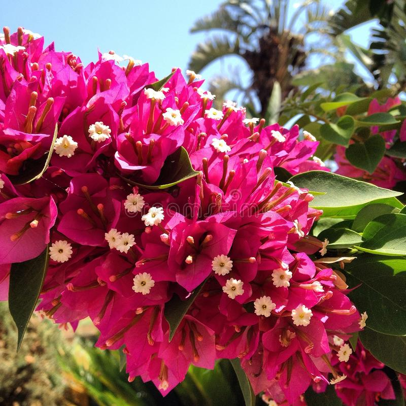 Download Bougainvillea stock photo. Image of pretty, flower, pink - 43356590