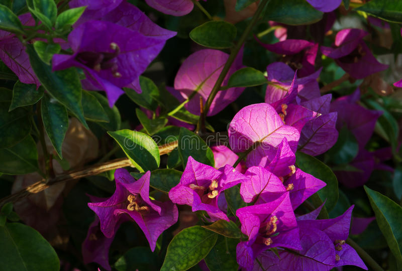 Bougainvillea purpere bloemen bij zonsondergang royalty-vrije stock afbeeldingen