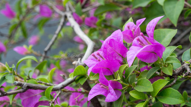 Bougainvillea, purple paper flower royalty free stock image
