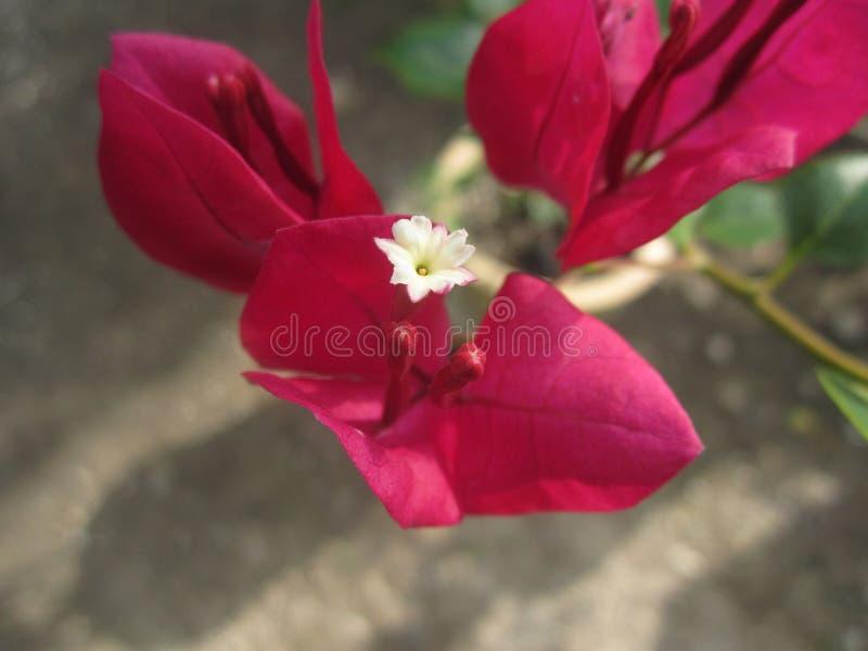 Bougainvillea roxo fotografia de stock