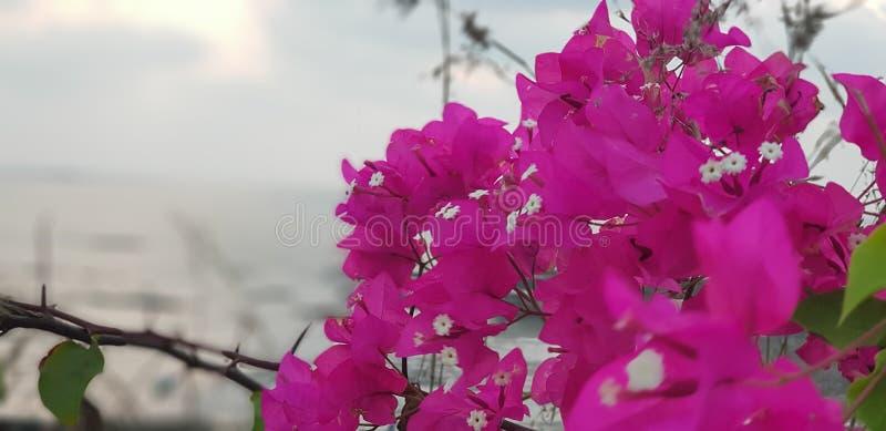 Bougainvillea roze bloemen stock foto's
