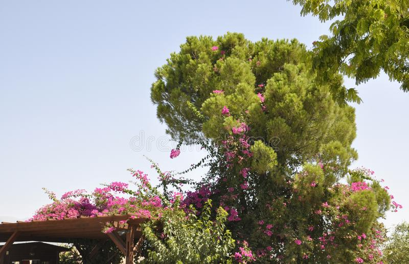 Bougainvillea shrub with blossom Flowers in the Park stock photos
