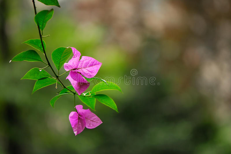 Bougainvillea Spectabilis. This beautiful purple plant known as the bougainvillea spectabilis is in full bloom royalty free stock image