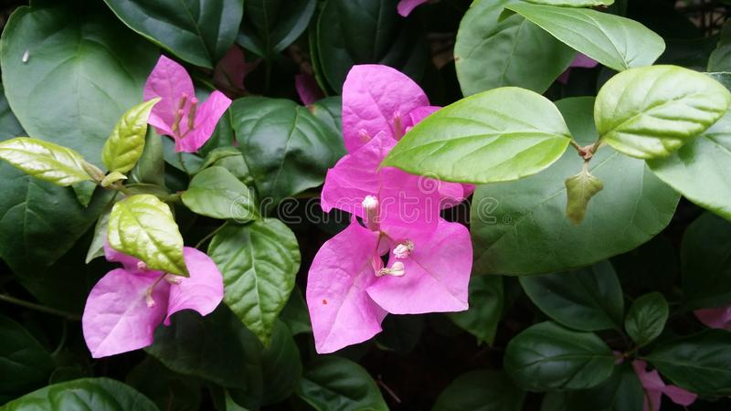 Bougainvillea spectabilis. Leaves blossom flowers greeny purple royalty free stock images