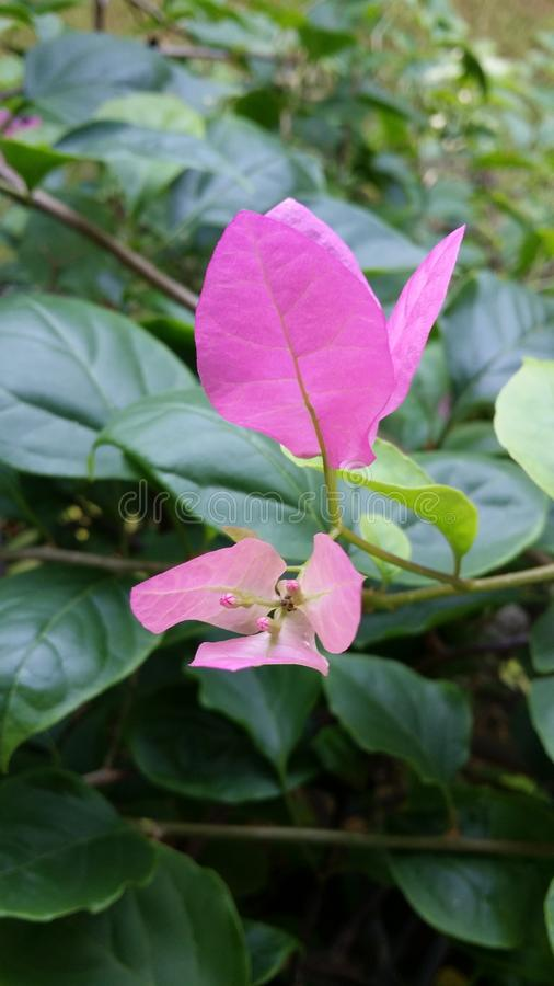 Bougainvillea spectabilis. Leaves blossom flowers greeny purple royalty free stock photos