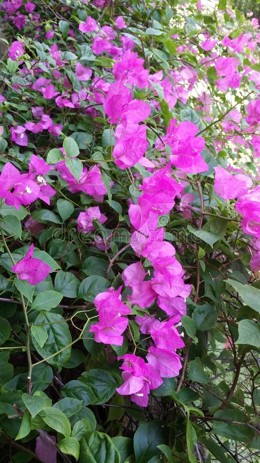 Bougainvillea spectabilis. Leaves blossom flowers greeny purple royalty free stock image