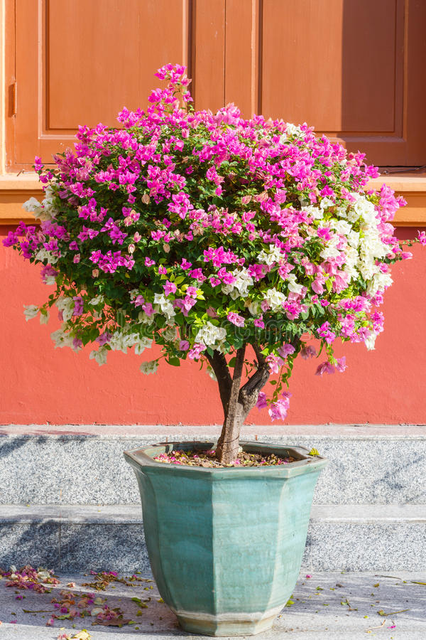 Bougainvillea spectabilis. Close up pink and white color bougainvillea spectabilis in ceramic pot on dirty floor stock images