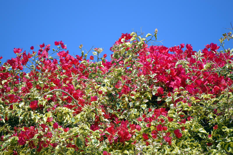Bougainvillea spectabilis flowering. Outside in Portugal royalty free stock photography