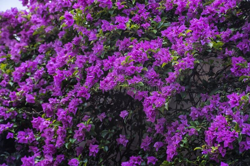 Bougainvillea spectabilis roślina zdjęcie royalty free